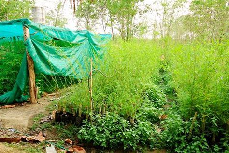 การชำเหง้าไผ่   สวนหม่อนไม้ สวนกสิกรรมธรรม(ชาติ)วิถี