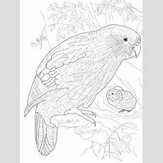 Kakapo Parrot  New Zealand Food And Culture  Bird Coloring Pages, Kakapo Parrot Und Parrot Drawing