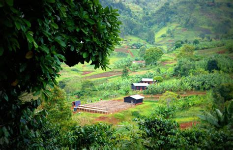 Rwanda coffee rwanda's coffee has been grown for a very long time as far back as in the 1930s when rwandan farmers were forced to plant an abundance of coffee trees by the belgian colonial empire. The Power of High-Quality Coffee in Rural Rwanda
