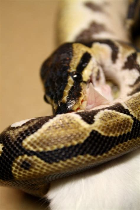 normal ball python feeding
