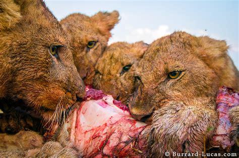 feeding lions burrard lucas photography