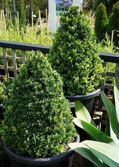english box topiary cones   plants garden