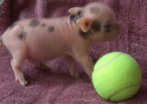 Mini Pot Belly Pig Sale