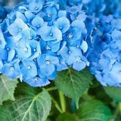 Hortensie Endless Summer Standort : hortensie pimpernel blau hochzeitsblumen hortensien ~ Lizthompson.info Haus und Dekorationen