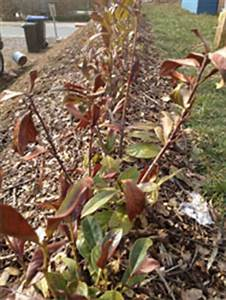 Kirschlorbeer Braune Blätter : kirschlorbeer erfroren oder vertrocknet wir helfen weiter ~ Frokenaadalensverden.com Haus und Dekorationen
