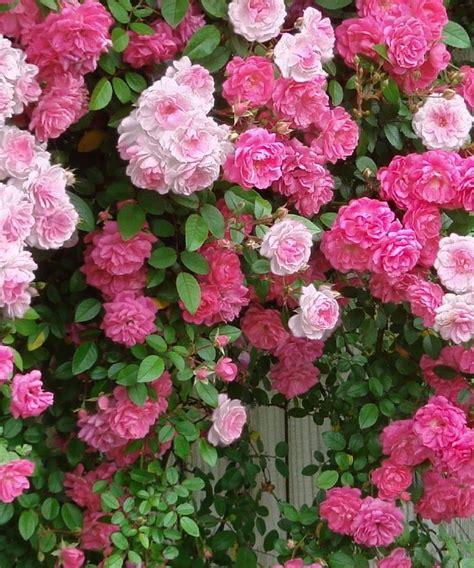pictures of climbing roses pink climbing roses climbing rambling roses pinterest