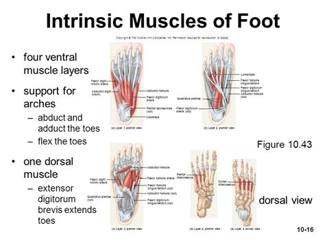 10.19 (a) pattern of peripheral sensory innervation in the right lower limb. How Strong is Your Foot's Core?