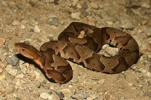 The Homeowners Guide: Copperhead Snakes- Maryland's ...
