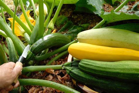 courgette semer et planter ooreka