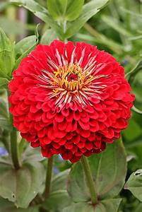 Zinnia elegans 'Benary's Giant Scarlet' - Buy Online at ...
