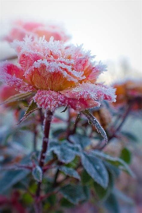 beauty  frozen flowers xcitefunnet