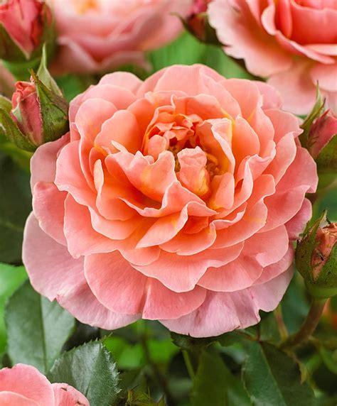 Buy Spray Rose 'Marie Curie' | Bakker.com