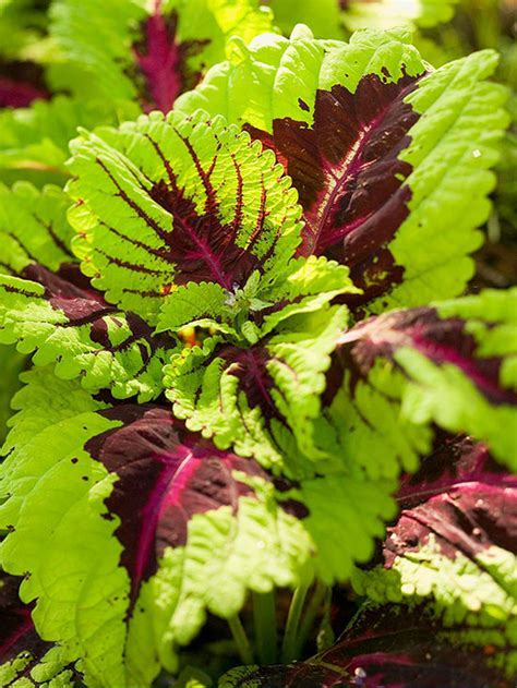 Coleus, shade loving with veined pattern