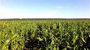 Aerial Flight Over Corn Filed Stock Footage Video 9227108 ...