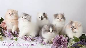 persian cat their looks breed pregnancy disease and many more