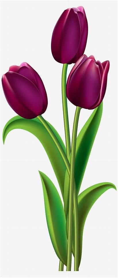 Tulip Tulips Purple Clipart Flower Flowers Fleurs