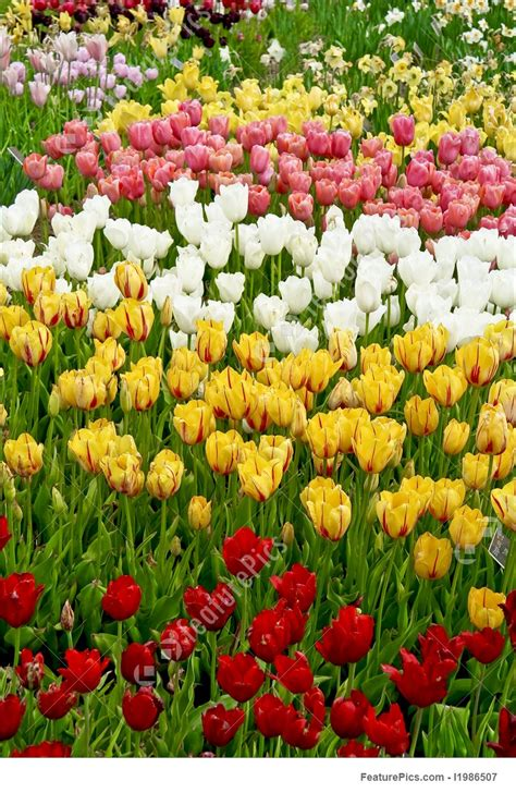 tulip flower garden free stock flowers tulip garden stock picture i1986507 at featurepics