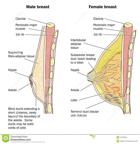 Male And Female Breast Anatomy Stock Images Image 12436234