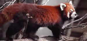 Red Pandas: The cutest little shits around. - Album on Imgur