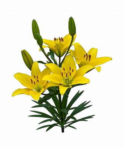 Yellow Asiatic Lilies Lily