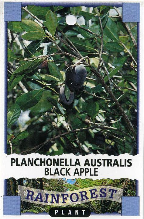 black apple planchonella australis