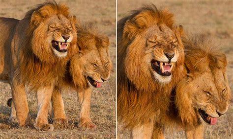 favorite tweet  atakiyakamikawa lions male lion lion