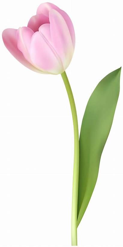 Tulip Transparent Clipart Purple Yopriceville Flowers Frame