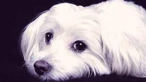 Cataracts Symptoms in Dogs | PetCareRx