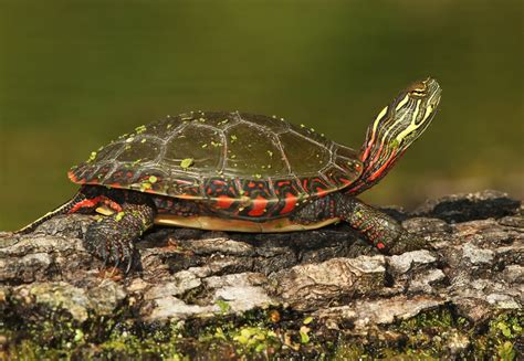 painted turtle painted turtle facts and pictures reptile fact