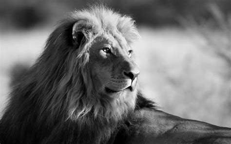 Animal Wallpaper Black And White - black and white photos black and white wallpaper with