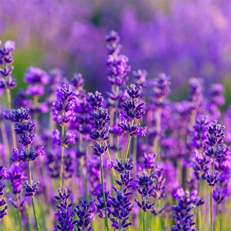 Und Lavendel by Volmary Pflanzenshop Lavendel Stauden Lavendel Stauden
