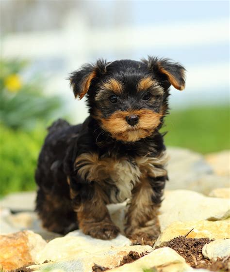 Smallest Dog Breed In The World 2018 - Dogs Breed ...