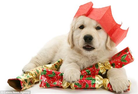 labrador puppy christmas the in waiting