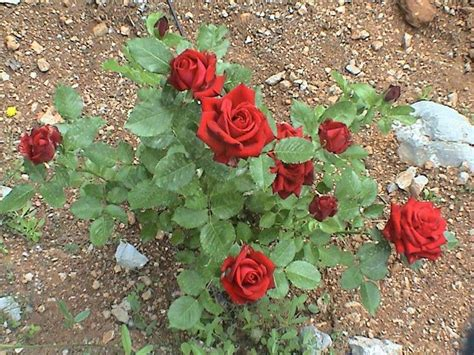 what to plant with roses 78 images about red rose on pinterest different types of red velvet and memories