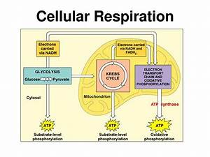 Chapter 9 Cellular Respiration  U0026 Fermentation