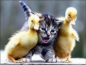 Kitten and baby ducks | Ducks | Pinterest