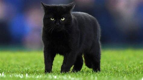 everton cat game held   pitch invader  wolves win bbc sport