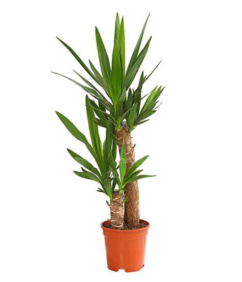 yucca palme ableger yucca palme dehner