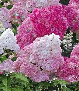Hortensien Pflege Balkon : freiland hortensie 39 vanille fraise 39 garten terrasse ~ Lizthompson.info Haus und Dekorationen