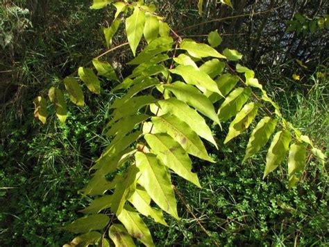 goetterbaum ailanthus altissima