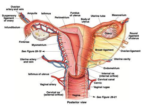 Gambar Rahim Wanita Our Body