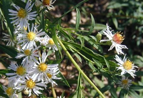 Two White Asters Along A Sunny Lane In Pennsylvania