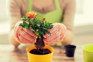 Rosen Selber Ziehen : rosen z chten so wird 39 s gemacht ~ Lizthompson.info Haus und Dekorationen