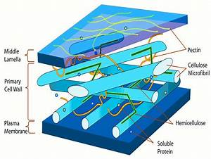 Microscopic And Submicroscopic Structure Of Cell Walls