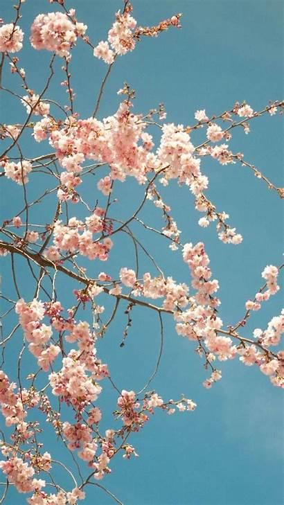 Blossom Cherry Iphone Mobile Pixelstalk