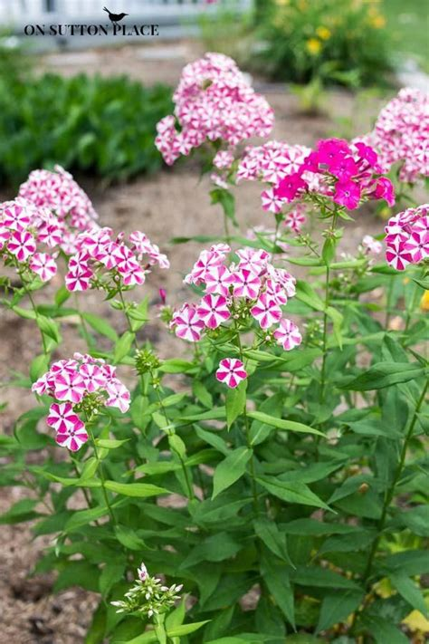 list of hardy perennial flowers the 25 best hardy perennials ideas on pinterest perennial perennials and perennial flowers