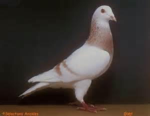 Le Pigeon Prix by Pigeons Basse Cour Et Voli 232 Re