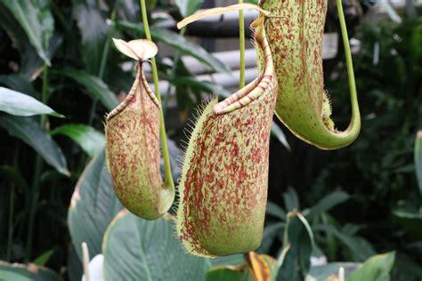 fleischfressende pflanzen repräsentative arten fleischfressende pflanzen karnivoren die beliebtesten