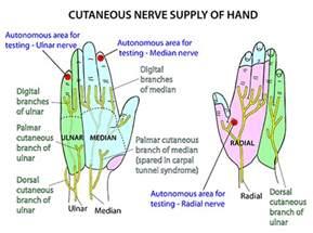 Hand Arm Nerve Dermatome Chart