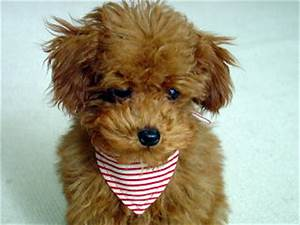 Teddy Bear Dogs ~ Splendid Pictures Around The Net